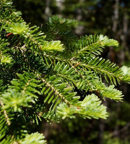 Le préféré de nos conifères au Québec. Le sapin baumier donne une huile essentielle bienfaisante pour les voies respiratoires. Sa macération huileuse fait ressortir une odeur de résine sucrée.