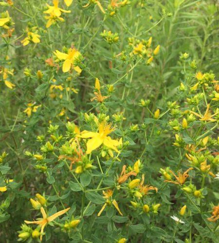 Petite fleur jaune qui fleurit fin juin. Le millepertuis donne une belle huile macérée rouge. Cette plante possède des vertus pour la peau, les muscles et les articulations.