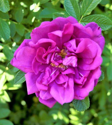 rose du fleuve